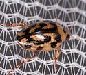 Beetle for ID - Haliplus