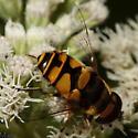 Flower Fly - Eristalis transversa - male