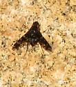 Unknown insect - Xenox tigrinus