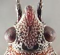 Bug - Kleidocerys resedae - male