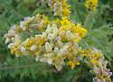 Cecidomyiidae, Solidago flower galls - Rhopalomyia anthophila