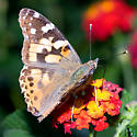 Butterfly- Painted Lady? - Vanessa cardui