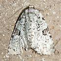 Leuconycta diphteroides - Hodge's #9065 - Leuconycta diphteroides