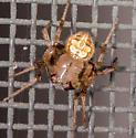 Araneus sp.? - Araneus pegnia - male