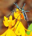 Blue Metallic Sheen on this - Toxorhynchites rutilus - female