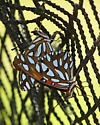 Gulf Fritillary mating pair - Agraulis vanillae - male - female