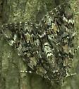 Old Wife Underwing? - Catocala lacrymosa