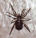 Brown spider sp? - Steatoda borealis