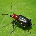 Leaf Beetle - Oulema maculicollis