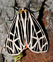 Arctiinae  - Apantesis virgo