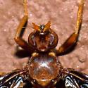 Waved Light Fly - Pyrgota undata