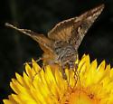Large Moth - Autographa californica