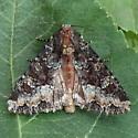 A Noctuid Moth - Apamea amputatrix
