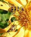 unknown beetle - Diabrotica undecimpunctata