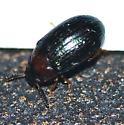 Tenebrionidae ?? - Neomida bicornis