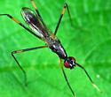 Stilt fly Micropezidae Rainieria antennaepes - Rainieria antennaepes