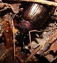 Beetle - Tarpela micans