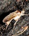 Infraorder Bibionomorpha - Gnats, Gall Midges, and March Flies