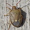 Bug - Holcostethus limbolarius