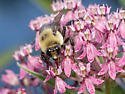 Bumble Bee with yellow face - Bombus griseocollis
