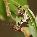 Bizarre caterpillar - Harrisimemna trisignata