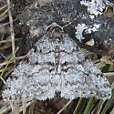 Moth - Phigalia - male
