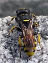 Wasp - Ectemnius cephalotes