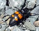 Black beetle with four large orange jagged spots - Nicrophorus vespilloides