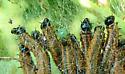 Cherry Webspinning Sawfly - Neurotoma fasciata