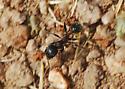 Nix Ant For ID - Veromessor andrei