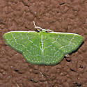 Southern Emerald Moth - Hodges#7059 - Synchlora frondaria