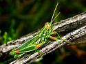 Snakeweed Grasshopper (Hesperotettix viridis) - Hesperotettix viridis