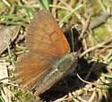 Butterfly 1 (Timothy Lake) - Lycaena mariposa - male