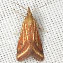 Microtheoris ophionalis (Walker) - Microtheoris ophionalis