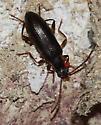 Beetle - Statira gagatina