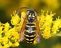 Yellowjacket - Vespula flavopilosa