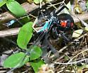 Southern Black Widow with Ischnura (ramburii?) sp. as prey - Latrodectus mactans - female