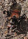 A flower fly with reddish abdomen - Chalcosyrphus libo - male