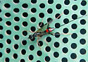 Pristaulacus resutorivorus - Parasitic wasp - Pristaulacus - female