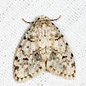 Little White Lichen Moth - Clemensia albata