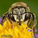 Anthidium sp.? - Anthidium maculifrons