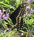 Black Swallowtail ?