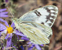 Butterfly on Asters - Pontia occidentalis