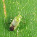 Mirid - Dichrooscytus repletus - female