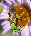 Halictid bee on aromatic aster - Agapostemon