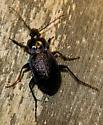Carabus sp. - Carabus serratus