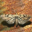 Moth - Tornos erectarius - female