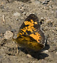Crescent - Phyciodes tharos - male