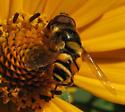 Deformed fly - Eristalis transversa - male
