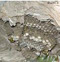 D. arenaria nest - Dolichovespula arenaria